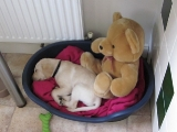 Sam (yellow collar) look at his teddy! aww bless him