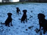 four snowy labbies