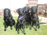 four lovely labbies