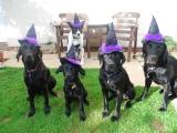 Halloween - Wizard Dogs!