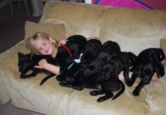 labrador-puppy-11