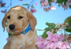 labrador-puppy-19