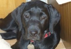 labrador-puppy-2
