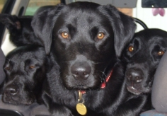 labrador-puppy-6
