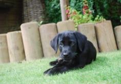 labrador-puppy-9
