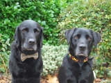 Charlie with his very distinguished tweed collar and Archie with a fun jelly bean collar with bow tie