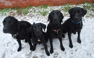 Four Black Labradors - Group Shot
