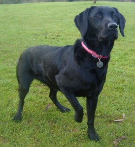 Molly At 6 Weeks Pregnant Marchstone Labradors